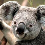 Koala Gibi Olmak