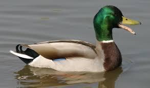 Çirkin Ördek